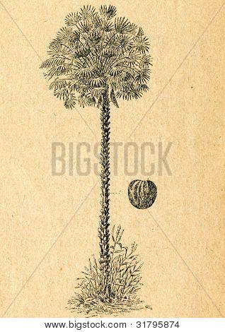 Copernicia - gammal illustration av okänd konstnär från Botanika Szkolna na Klasy Nizsze, författare Jozef