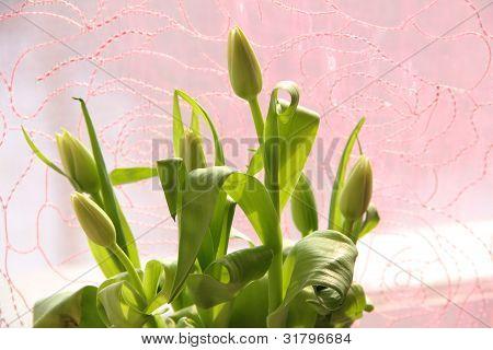 Sunny Tulip Buds