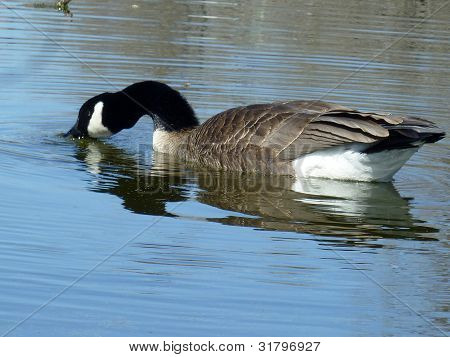 Canada goose feeding on the surface of a lake poster