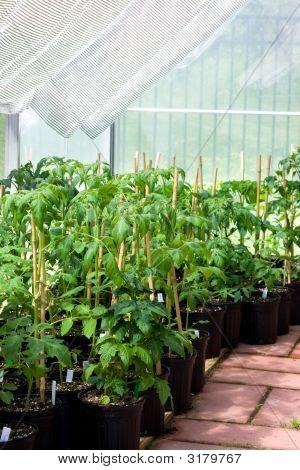 Garden Greenhouse With Tomato Plants