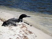 Loon resting on white sandy beach on the shoreline of St Andrews Bay, Panama City Beach, Florida. poster
