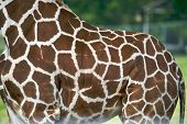 The hide of a giraffe is full of wonderful color and patterns poster