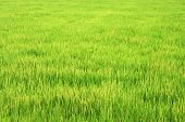 A large green paddy field on sunny day. poster