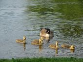 Goose and babies swimming on a river poster