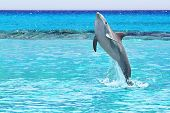 Dolphin jumping in the Caribbean Sea of Mexico poster