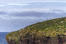 Many Atlantic Puffins Flying About Nesting Places On Newfoundland Island