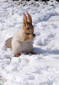 Red squirrel with a nut