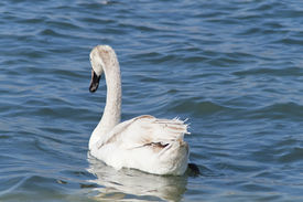 Young white swan.