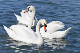White swans in a sea.