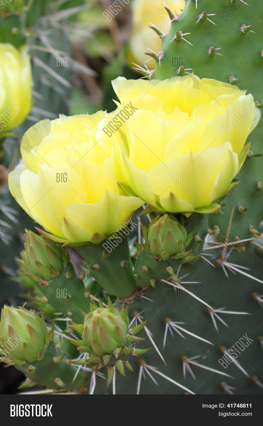 Blooming Prickly Pear Image Photo Free Trial Bigstock