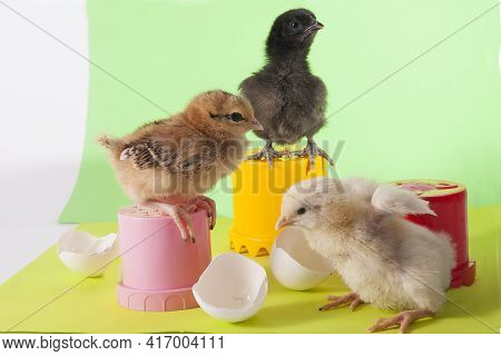 Little Cute Colorful Chickens Playing Among Eggshells