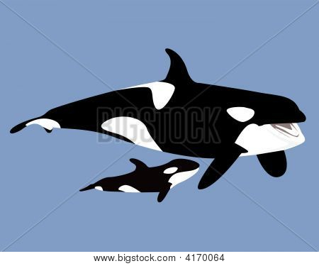 Killer Whale And Baby