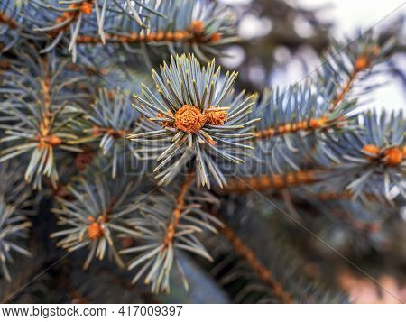 An Ovary Of Vernal Growing  Cone On A Colorado Blue Spruce In Front Of The Fir-needle At The Backgro