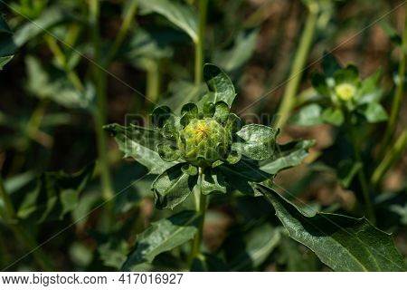Milk Thistle, Blessed Milkthistle, Marian Thistle. This Species Is An Annual Or Biennial Plant Of Th