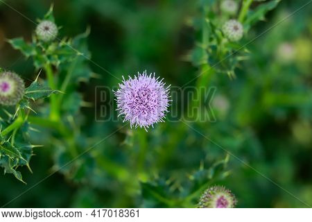 The Nice Bull Thistle Flower That Is On The Noxious Weed List For Minnesota And Is One Of The Spinie