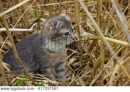 A Small Gray Kitten Sits In Reeds. Kitten Among The Yellow Sticks.