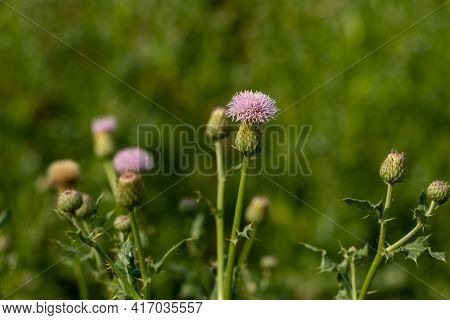 Bull Thistle Or Cirsium Vulgare Is A Plant That Is Related To The Sunflower Family Also Bull Thistle