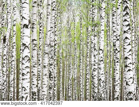 Background Of First Spring Greens In Birch Grove