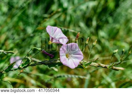 White-pink Flowers Of Invasive Weed Convolvulus Close-up On Blurred Green Grass Background. Blooming