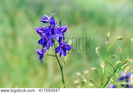 Inflorescence Of Blue Forking Larkspur Flowers Close-up Isolated On Green Blurred Grass Background.