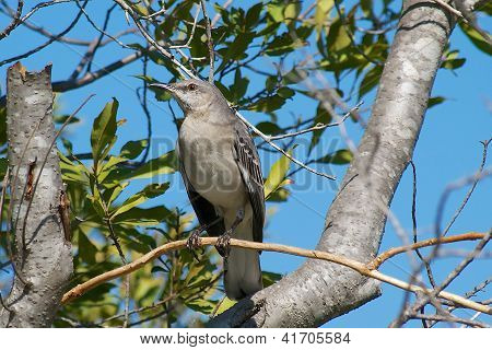 Northern Mockingbird Perched High in a Tree