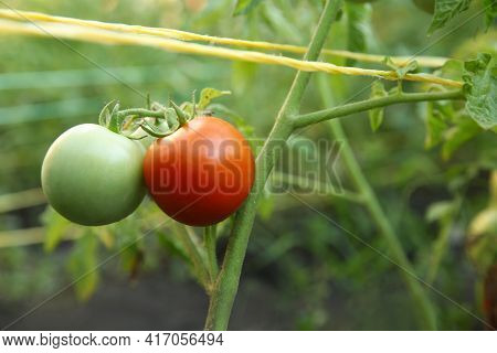 Tomatoes Ripening On Bush In Kitchen Garden, Closeup