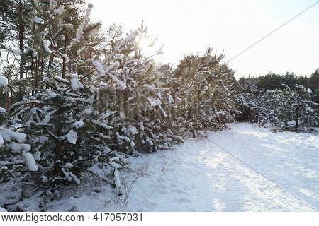 Beautiful View Of Conifer Forest On Snowy Winter Day