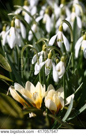 Spring Solar Morning. Plentifully The Galanthus Blossoms And Near It In Light Flowers The Crocus Blo