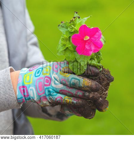 Gardener Holds In Hands Petunia Seedling With Pink Flower, Close-up Photo With Selective Focus