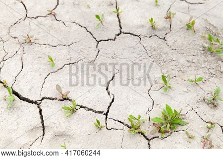 Green Plants Grow In Cracks Of Dry Soil, Drought Photo Background