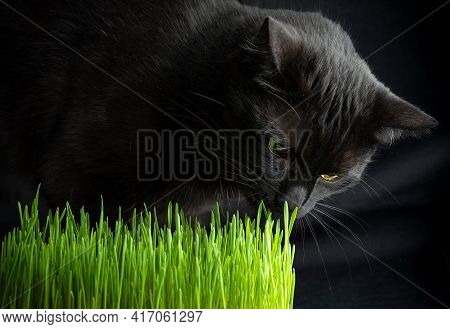 Grass For Cats. Black Cat Sniffing Young Grass On A Dark Background.
