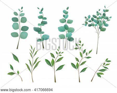 Eucalyptus Leaves Set Isolated On White Background. Set Of Silver Dollar Eucalyptus Tree Foliage, Na