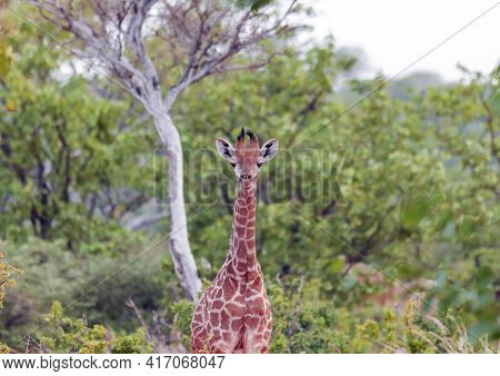 Baby Giraffe Has Stopped And Is Looking Ahead Curiously. A Young Giraffe Stands Alertly Against The
