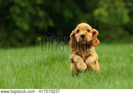 Amazing, Newborn And Cute Red English Cocker Spaniel Puppy Detail. Small And Cute Red Cocker Spaniel