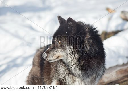 Portrait Of Black Canadian Wolf Is Standing On A White Snow. Close Up. Canis Lupus Pambasileus.