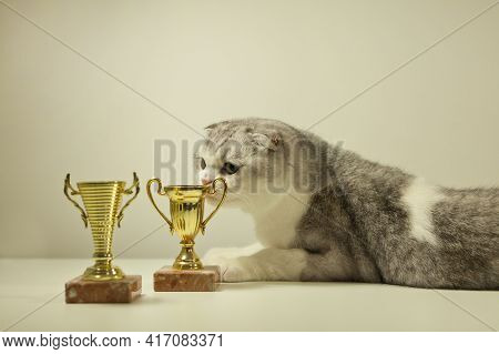 Scottish Fold Cat With His Award Or Trophy. Champion Cat Lying On The Table With His Trophy. Cats Sh