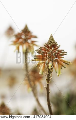 Red Blooming Aloe Flowers. Natural Background With Flowering Succulent Plant. Floriana, Malta.