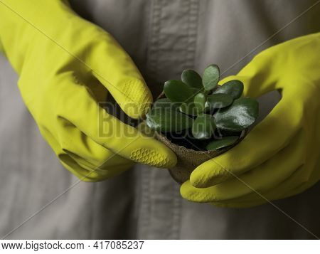 Man In Gray Robe And Yellow Rubber Gloves Holds Crassula In Peat Pots. Growing Succulent Plants - Pe