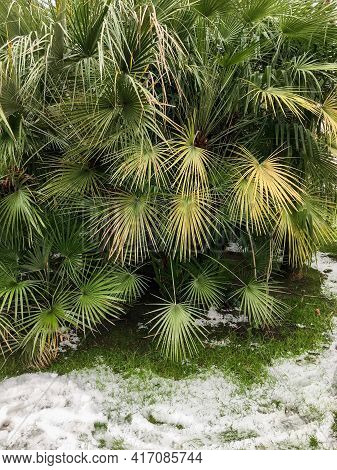 Snow On Grass Under Green Palm Tree Foliage. Snowfall In Area With Tropical Climate.