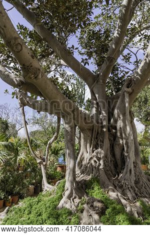 Ficus Macrophylla, Commonly Known As The Moreton Bay Fig Or Australian Banyan. Big Evergreen Tree In