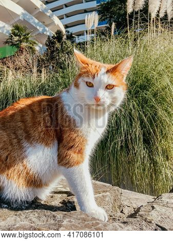 Stray Ginger Cat Sits On Pavement On Background Of Cortaderia, Pampas Grass. Homeless Animal On Stre
