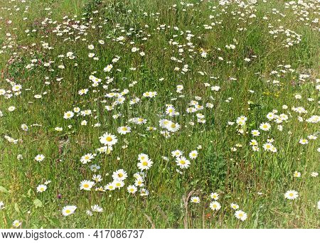 Ox Eye Daisies And Buttercups Growing In A Summer Meadow
