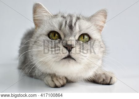 A Close-up View Of A Cat On A White Background. A Tabby Cat Is Lying On A White One. Domestic Animal