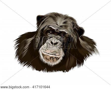 Monkey Chimpanzee Head Portrait From A Splash Of Watercolor, Colored Drawing, Realistic. Vector Illu