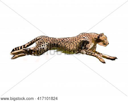 Cheetah From A Splash Of Watercolor, Colored Drawing, Realistic. Vector Illustration Of Paints