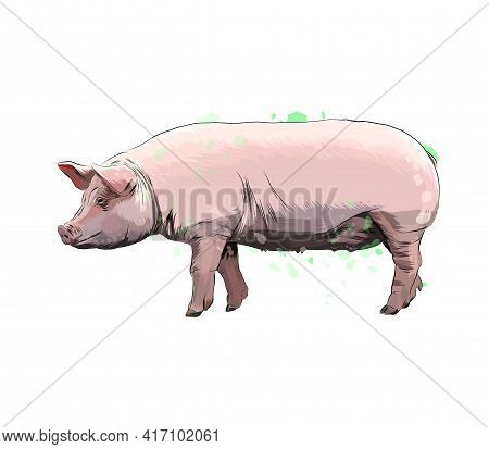 Pig From A Splash Of Watercolor, Colored Drawing, Realistic. Vector Illustration Of Paints