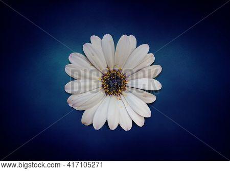 Osteospermum Ecklonis Flower (cape Marguerite Flower, Dimorphotheca). White Daisy Flower, Isolated O