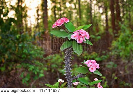 Euphorbia Milii Is A Woody, Succulent Species Of Euphorbia Native To Madagascar. It Is Also Known As