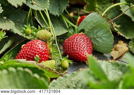 Picking Fresh Strawberries On The Farm, Close Up Of Fresh Organic Strawberries Growing On A Vine