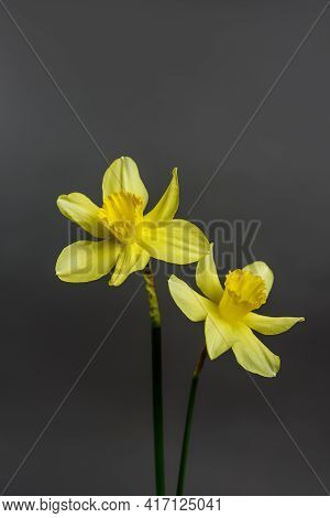 Narcissus - Two Flowers Yellow Daffodil Spring Flower Daffodil, Close-up Isolated On Gray Background